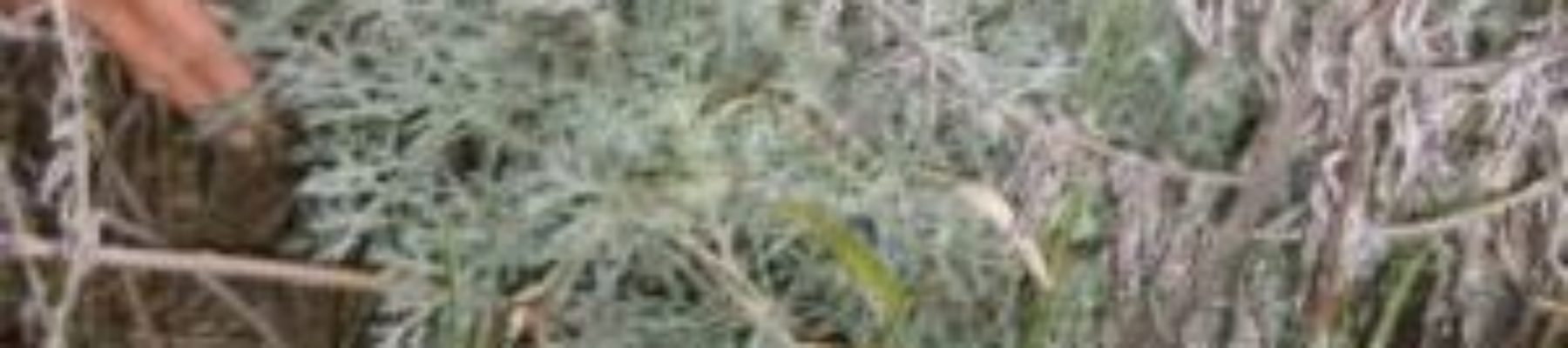 absinthe · Encyclopédie du jardin · Association Les cueillettes de Landecy