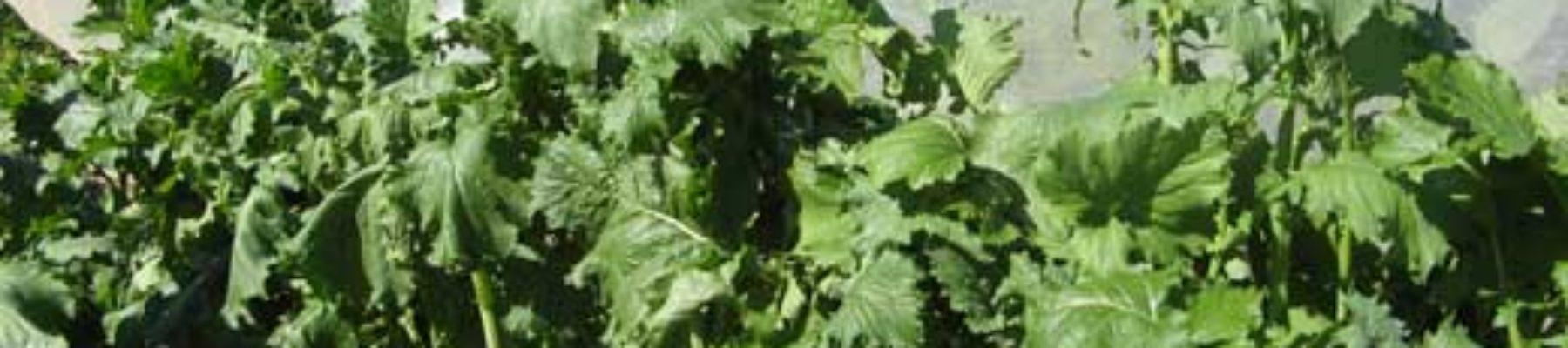 Cima di rapa · Encyclopédie du jardin · Association Les cueillettes de Landecy